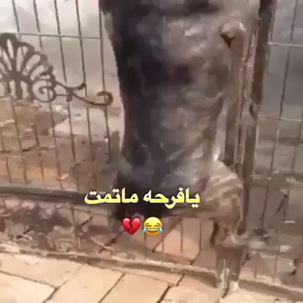 كلب,أنقص,زبه